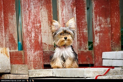chair goggie ob teh week winner yorkie yorkshire terrier - 6320427264
