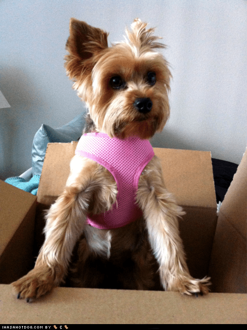 dogs goggie ob teh week pink yorkie yorkshire terrier - 6321473280
