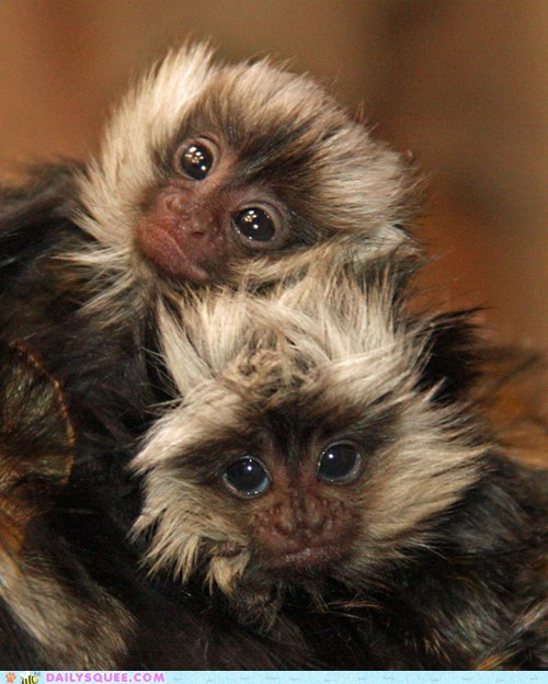 Babies hair marmoset squee spree twins - 6321723392