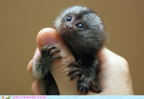 hands hug marmoset marmosets squee squee spree thumb thumbs tiny