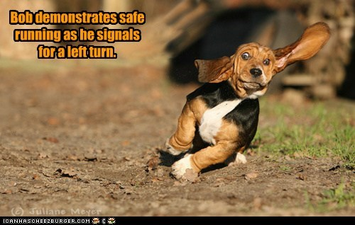 basset hound,best of the week,captions,dogs,ears,Hall of Fame,left,left turn,turn signal