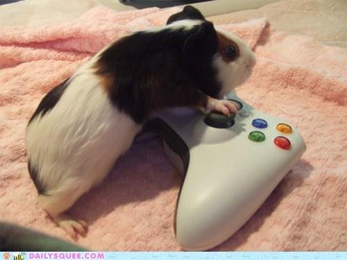 guinea pig guinea pigs pet pets squee video games - 6324419584
