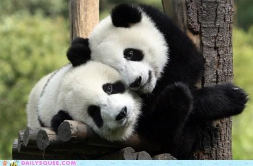 baby bear bromance cub cuddling panda - 6324442112