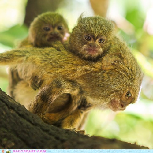 baby marmoset mommy piggy back squee spree - 6325187584