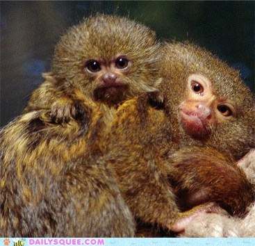 baby cuddles Fluffy marmoset mommy squee spree - 6325206272
