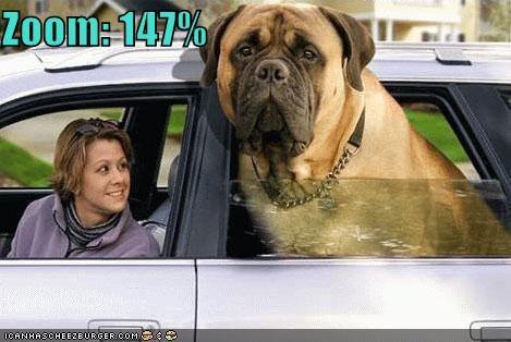 big,bull mastiff