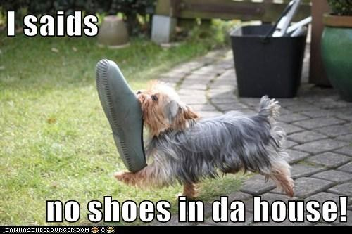 croc dogs rules shoe yorkie yorkshire terrier