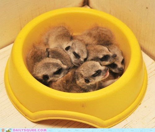 Babies bowl breakfast cereal cuddle puddle Meerkats sleeping squee - 6327643136
