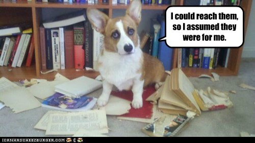 bad dog bookshelf corgi destroyed dogs - 6327993088