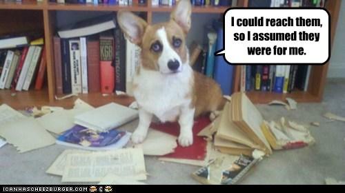 bad dog bookshelf corgi destroyed dogs - 6327993088
