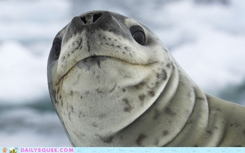 frown judgmental leopard seal seal snob - 6328084224