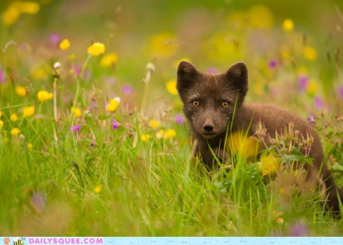 arctic fox fox fur summer wild flowers
