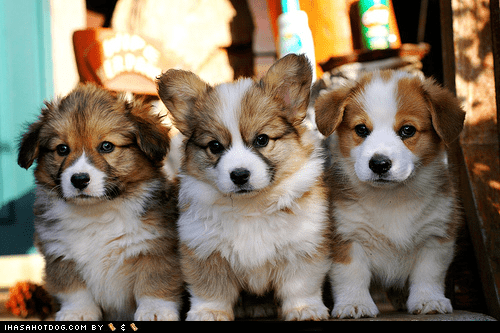 best of the week corgi cyoot puppy ob teh day Fluffy Hall of Fame puppy - 6328432640