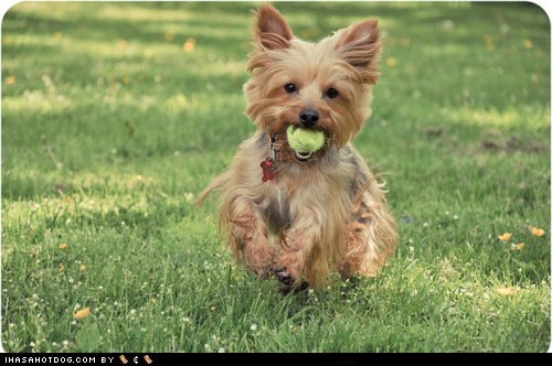 dogs fetch goggie ob teh week tennis ball yorkie yorkshire terrier - 6328511232