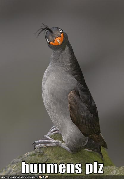 bird crested auklet derp dolan humans plz - 6329247488