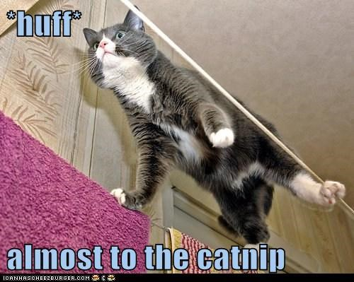 *huff*  almost to the catnip