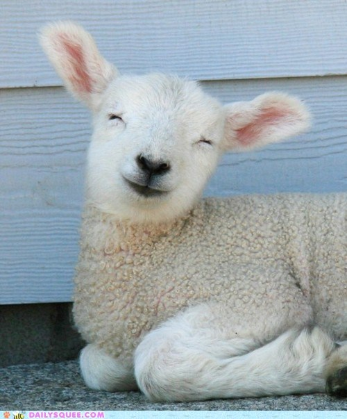 lamb sheep smiles squee wool - 6331859456