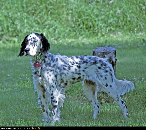english setter face off goggie ob teh week spots