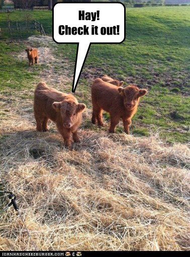 check it out cows hay Hey interesting puns sounds like