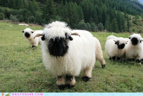 floofy horns sheep squee valais blacknose sheep wooly
