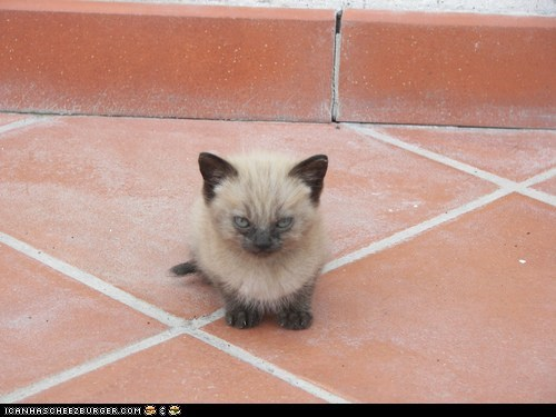 angry Cats cyoot kitteh of teh day glaring kitten mad SOON stink eye