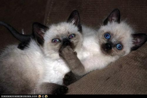 be quiet Cats cyoot kitteh of teh day hand over mouth kitten secrets shut up two cats - 6333199104