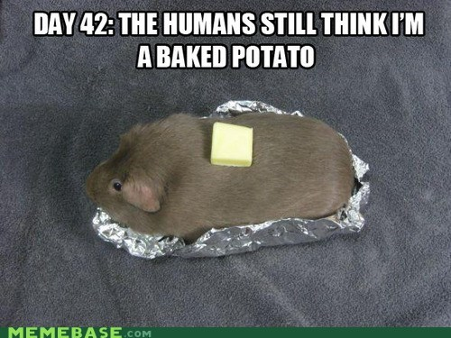 butter,cute,guinea pig,hamster,Memes,potato