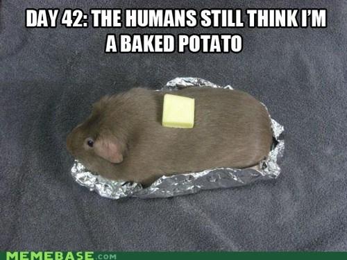 butter cute guinea pig hamster Memes potato - 6333424896