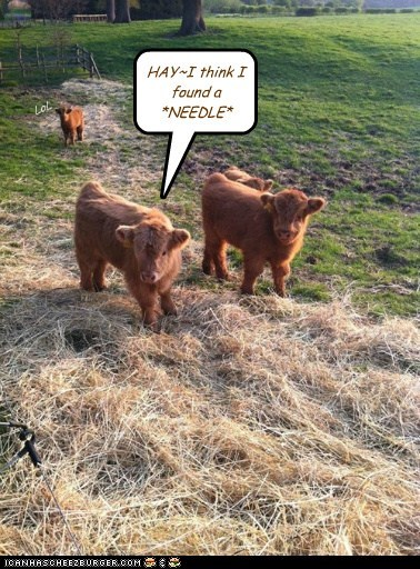 calfs cows easy hay Hey needle in a haystack surprise - 6335350528