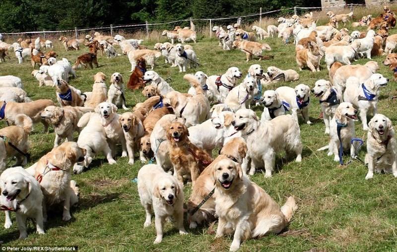 dogs cute dogs twitter scotland cute cute golden retrievers tweets golden retriever funny - 6338309