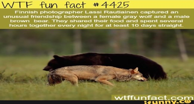 crazy hilarious lolz wtf bears bear facts lol wtf facts crazy facts weird true facts fun facts - 6339077