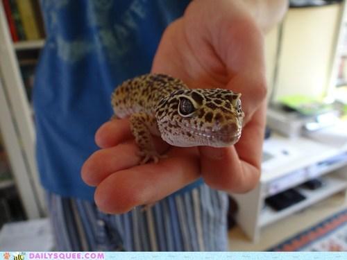 gecko lizard pet reader squee - 6340996608