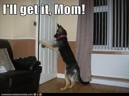 dogs door german shephard manners trained