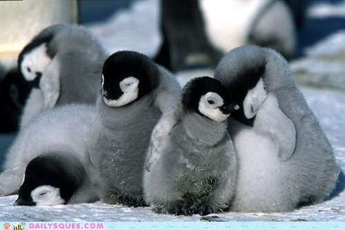 birds cute floof penguins