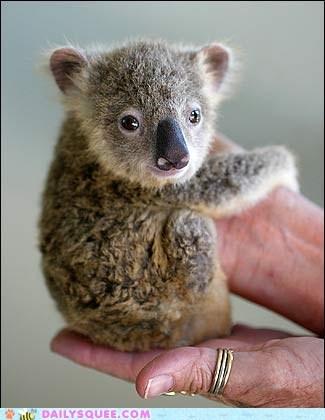 baby hand held koala marsupial tiny - 6342932224
