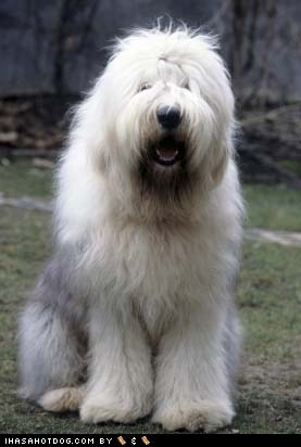 face off,Fluffy,goggie ob teh week,old english sheepdog,winner