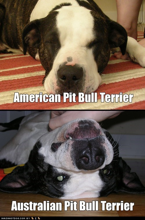american australia Australians captions dogs multipanel pit bull upside down upside down dog - 6347676672