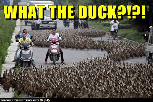 ducks,political pictures,traffic