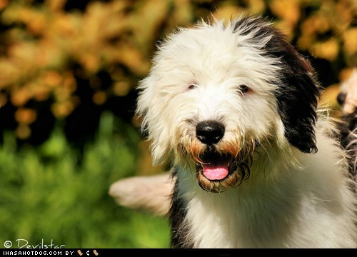 Fluffy goggie ob teh week old english sheepdog puppy - 6348378880