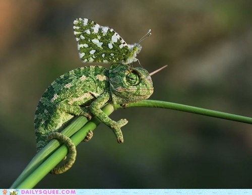 buddies,butterfly,camouflage,chameleon,lizard
