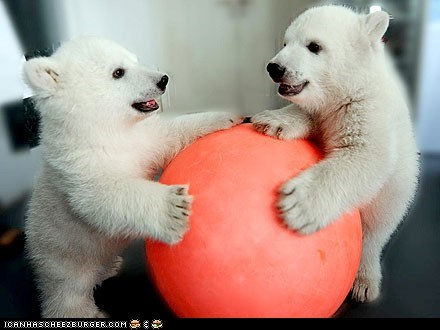 around the interwebs,bear cubs,bears,cubs,people pets,polar bears