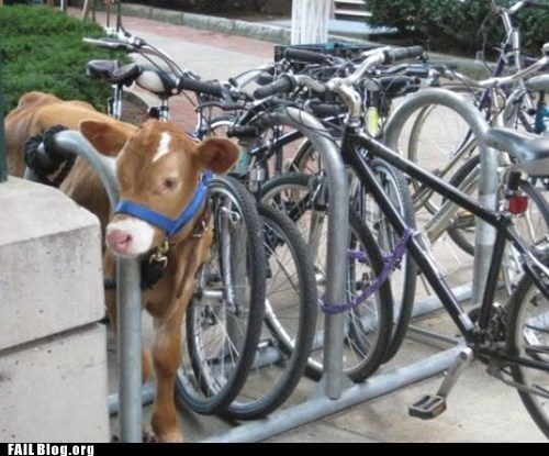 bike rack,cow,tied up