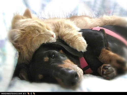 cat,dachshund,dogs,kittehs r owr friends,spooning