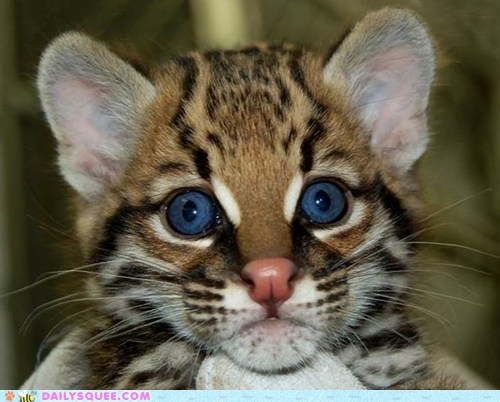 blue eyes cat hypnotizing ocelot squee - 6349252608