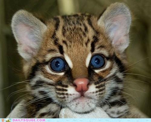 blue eyes cat hypnotizing ocelot squee - 6349252608