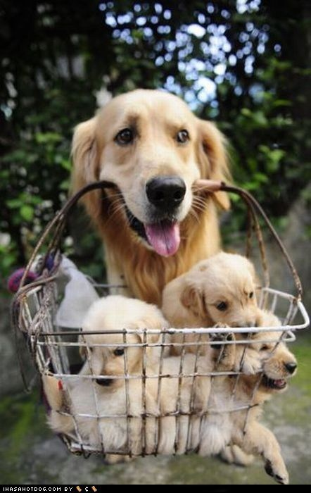 basket,cyoot puppy ob teh day,golden retreiver,puppy