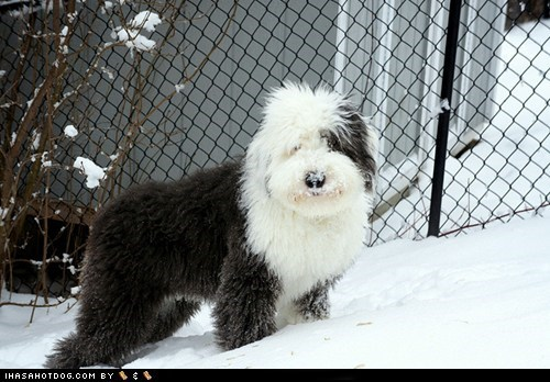 dogs,Fluffy,goggie ob teh week,old english,snow