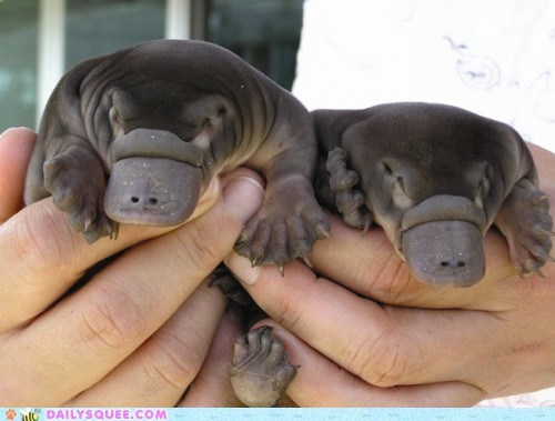 chubby hands squee Babies Hall of Fame platypus fat squee spree - 6349735680