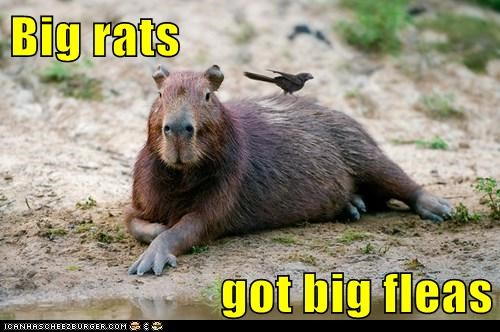 big bird capybara fleas rats Unknown