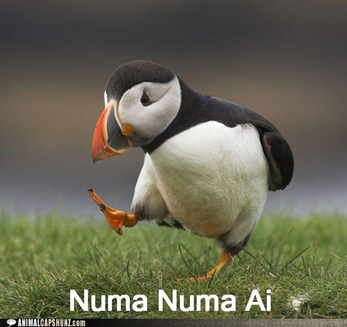 bird,dancing,numa numa,puffin,song